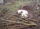 Cão no Laço